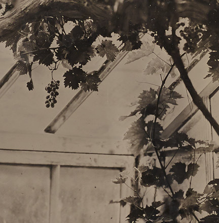 Vine_ambrotype_Crop